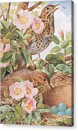Song Thrushes With Nest Acrylic Print by Louis Fairfax Muckley