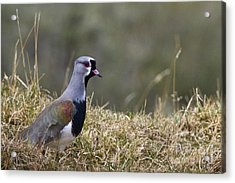 Southern Lapwing Acrylic Print by Jean-Louis Klein & Marie-Luce Hubert
