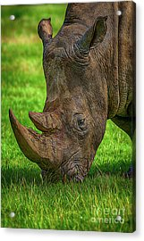 Southern White Rhinoceros Acrylic Print by Chris Thaxter