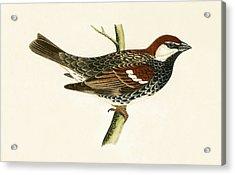 Spanish Sparrow Acrylic Print by English School