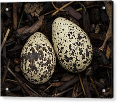 Speckled Killdeer Eggs By Jean Noren Acrylic Print by Jean Noren