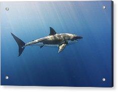 Spectacular Sunrays On A Spectacular Shark Acrylic Print by Steven Trainoff Ph.D.
