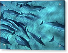Spinner Dolphins Acrylic Print by Monica and Michael Sweet