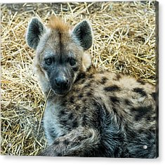 Spotted Hyena Acrylic Print by Steven Ralser