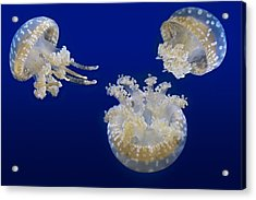 Spotted Lagoon Jellyfishes Acrylic Print by Susan Candelario