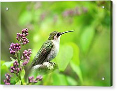 Spring Beauty Ruby Throat Hummingbird Acrylic Print by Christina Rollo