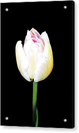 Spring Flowers Tulip  Acrylic Print by Toppart Sweden