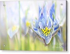 Spring Iris Acrylic Print by Jacky Parker
