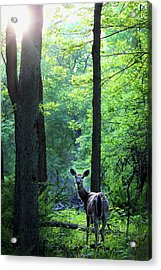 Spring Sunset On White-tailed Doe Acrylic Print by Codee Hart