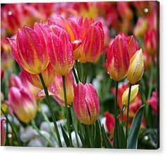 Spring Tulips In The Rain Acrylic Print by Rona Black