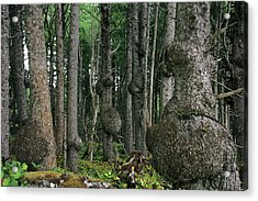 Spruce Burls Olympic National Park Wa Acrylic Print by Christine Till