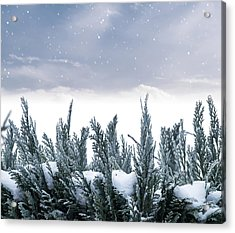 Spruce In Snow Acrylic Print by Wim Lanclus