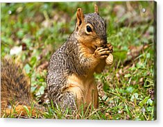 Squirrel Eating A Peanut Acrylic Print by James Marvin Phelps