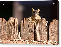 Squirrel On The Fence Acrylic Print by James BO  Insogna