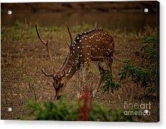 Sri Lankan Axis Deer Acrylic Print by Venura Herath
