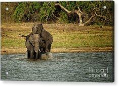 Sri Lankan Elephants  Acrylic Print by Venura Herath