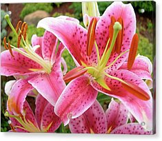 Stargazer Lilies At Their Best Acrylic Print by Randy Rosenberger