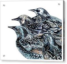Starlings Acrylic Print by Marie Burke