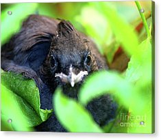 Stellers Jay Chick . 40d501 Acrylic Print by Wingsdomain Art and Photography