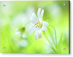 Stitchwort Flower Acrylic Print by Jacky Parker
