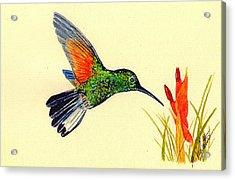 Stripe Tailed Hummingbird Acrylic Print by Michael Vigliotti