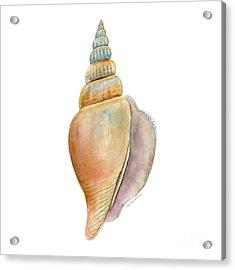 Strombus Vittatus Shell Acrylic Print by Amy Kirkpatrick