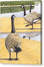 Struttin Thier Stuff Acrylic Print by Catherine G McElroy