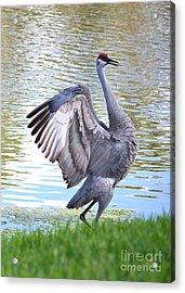 Strutting Sandhill Crane Acrylic Print by Carol Groenen