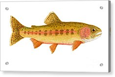 Study Of A Golden Trout Acrylic Print by Thom Glace