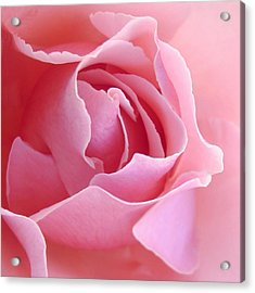 Sugar Of Rose Acrylic Print by Jacqueline Migell