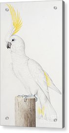 Sulphur Crested Cockatoo Acrylic Print by Nicolas Robert