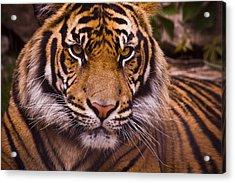 Sumatran Tiger Acrylic Print by Chad Davis