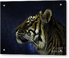 Sumatran Tiger Profile Acrylic Print by Avalon Fine Art Photography