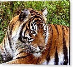 Sumatran Tiger Acrylic Print by Tony Brown