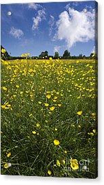 Summer Buttercups Acrylic Print by Meirion Matthias