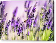 Summer Lavender  Acrylic Print by Nailia Schwarz