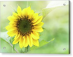 Summer Sunflower Acrylic Print by Jacky Parker