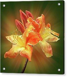 Sunburst Orange Azalea Acrylic Print by Gill Billington