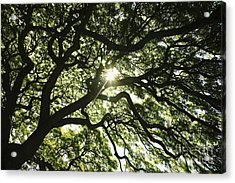 Sunburst Through Tree Acrylic Print by Brandon Tabiolo - Printscapes