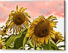 Sunflower Art 1 Acrylic Print by Edward Sobuta