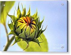 Sunflower Bud Acrylic Print by John Edwards