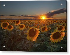 Sunflower Field - Colorado Acrylic Print by Lightvision, LLC