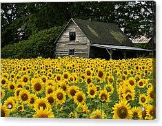 Sunflower Field And Barn Acrylic Print by Tom  Wray