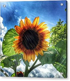 Sunflower Acrylic Print by Jame Hayes