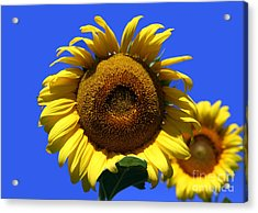 Sunflower Series 09 Acrylic Print by Amanda Barcon
