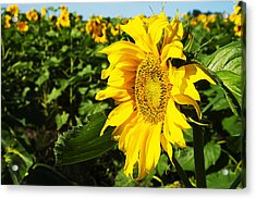 Sunflowers Acrylic Print by Donald  Erickson