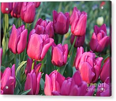Sunlight On Pink Tulips Acrylic Print by Carol Groenen