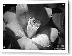 Sunlit Camellia - Black And White Nature Acrylic Print by Carol Groenen