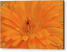 Sunny Calendula Acrylic Print by Maria Suhr