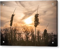 Sunny Reeds Acrylic Print by Kristopher Schoenleber
